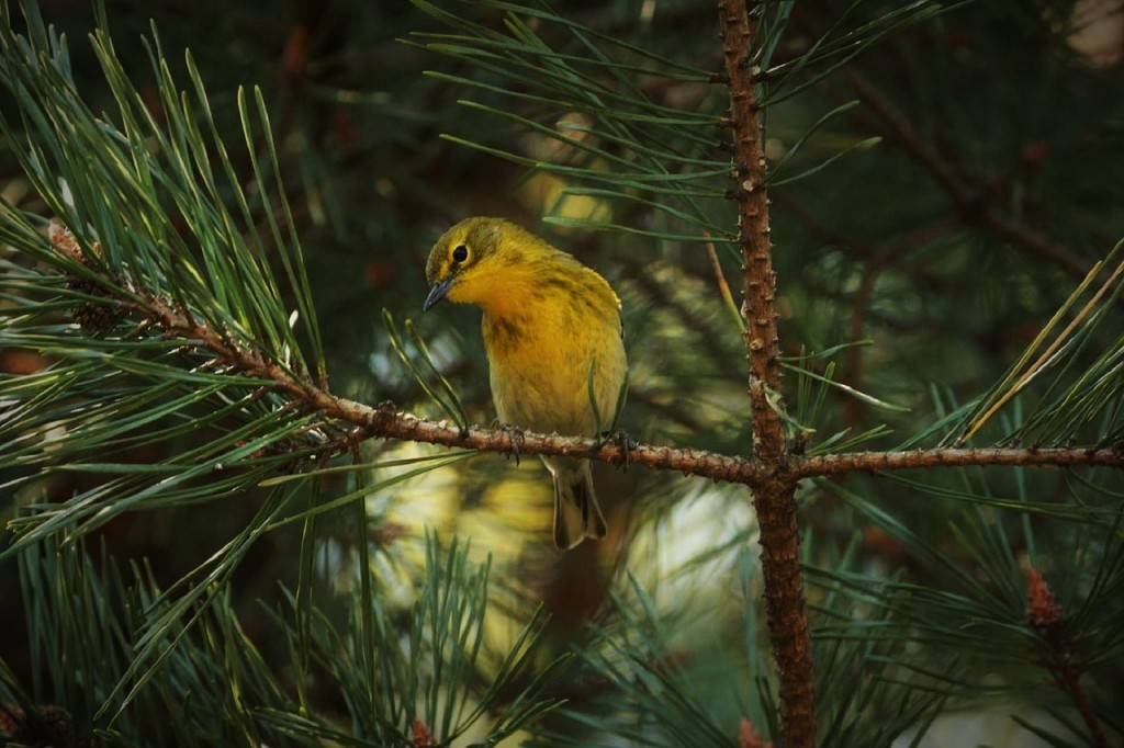 pine-warbler-1161922_1280
